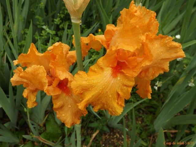 Iris 'Coup de soleil' - Cayeux 2006 Dscf4818
