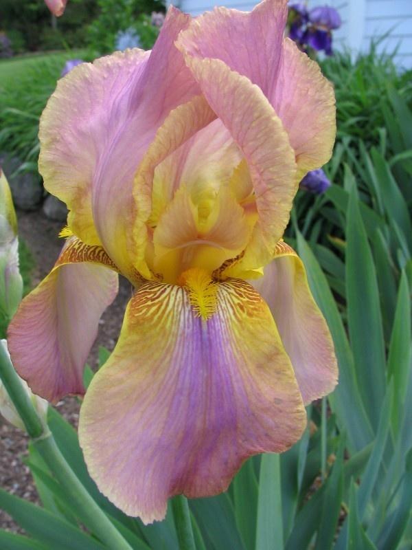 iris rose et jaune/orange Easter10