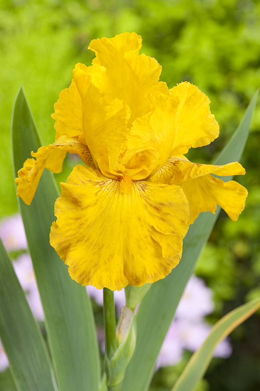 Iris 'Royal Sovereign' [identification] Iris jaune foncé (Claire n°1)  Iris-d10