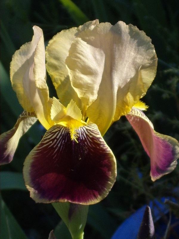 Iris variegata beige et violet - Flora et Lilou [identification en cours] - Page 2 Jimcdn10