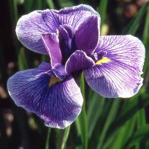 Iris ensata 'Kimono' Kimono10