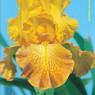 Iris 'Wild Jasmine' - Bernard Hamner 1983 Shafto10
