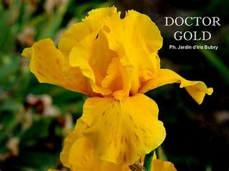 Iris 'Royal Sovereign' [identification] Iris jaune foncé (Claire n°1)  Thkza410