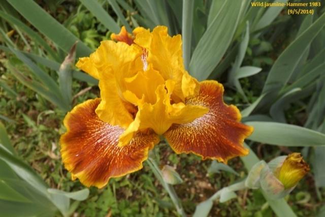 Iris 'Wild Jasmine' - Bernard Hamner 1983 Wild_j10