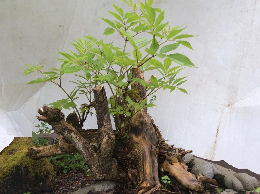 Sambucus racemosa Druvfl10