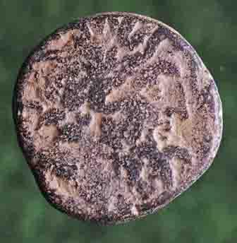Bronze de Séleucie & Piérie émis par P. Quinctilius Varus ... N_167513