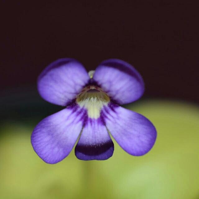Fleur de pinguicula tina. 20180713