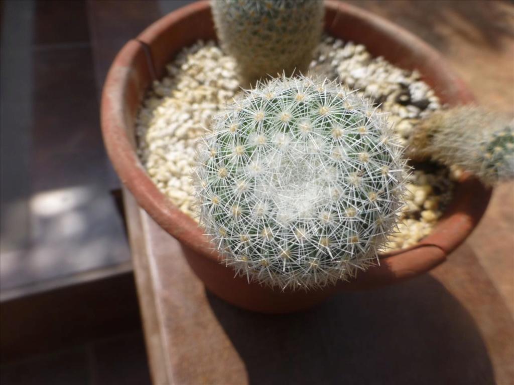 ID 14 My guess would be Mammillaria albilanata I0110