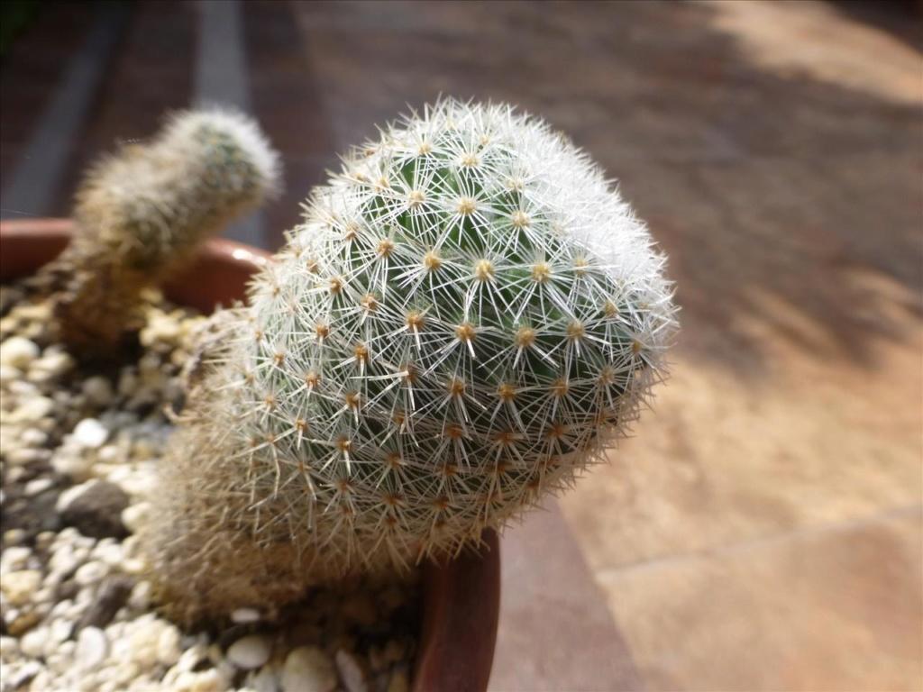 ID 14 My guess would be Mammillaria albilanata I0210