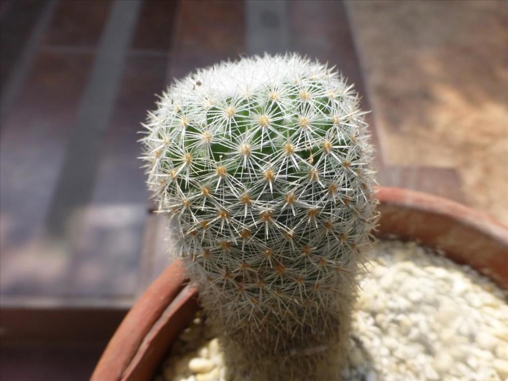 ID 14 My guess would be Mammillaria albilanata I0310