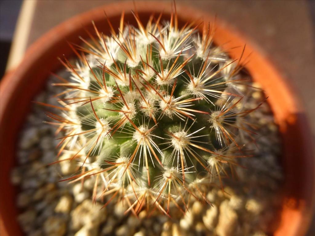 ID 12 My guess would be Mammillaria rhodantha P0110