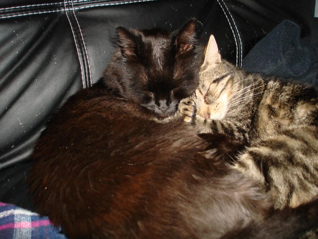 Mouty, jeune chat type européen, tigré, né en juin 2016 Dsc00413