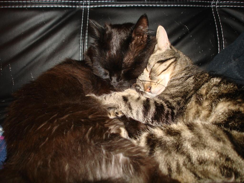 Mouty, jeune chat type européen, tigré, né en juin 2016 Dsc00414