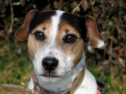 FLOYD - Parson Russel Terrier 8 ans - SPA de Morée (41) 36530210