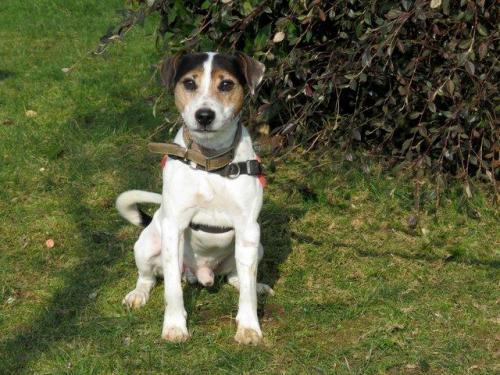 FLOYD - Parson Russel Terrier 8 ans - SPA de Morée (41) 36530211