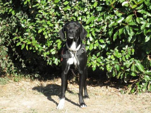 {Réservé} MICKEY - x Labrador/(x braque ?) noir avec blanc 11 mois - SPA de Morée (41) 36583714