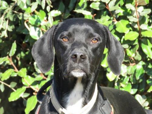 {Réservé} MICKEY - x Labrador/(x braque ?) noir avec blanc 11 mois - SPA de Morée (41) 36583715