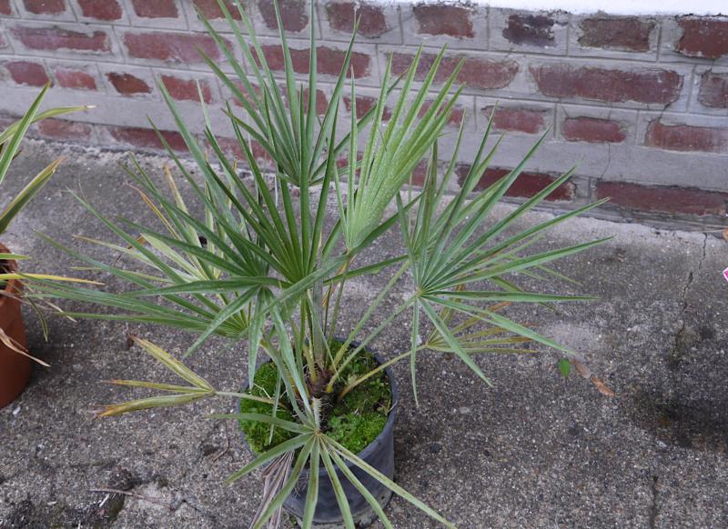 Sauvetage d'un palmier non identifié Jardin22