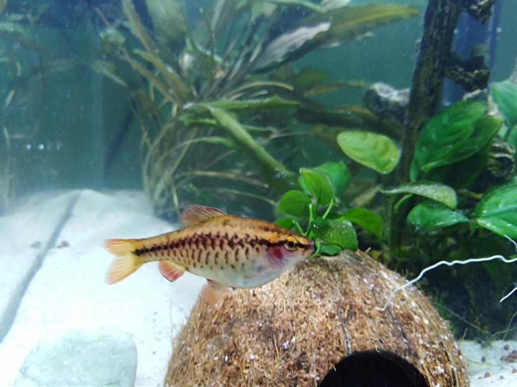 Recherche la race de ce petit poisson  Img_2010