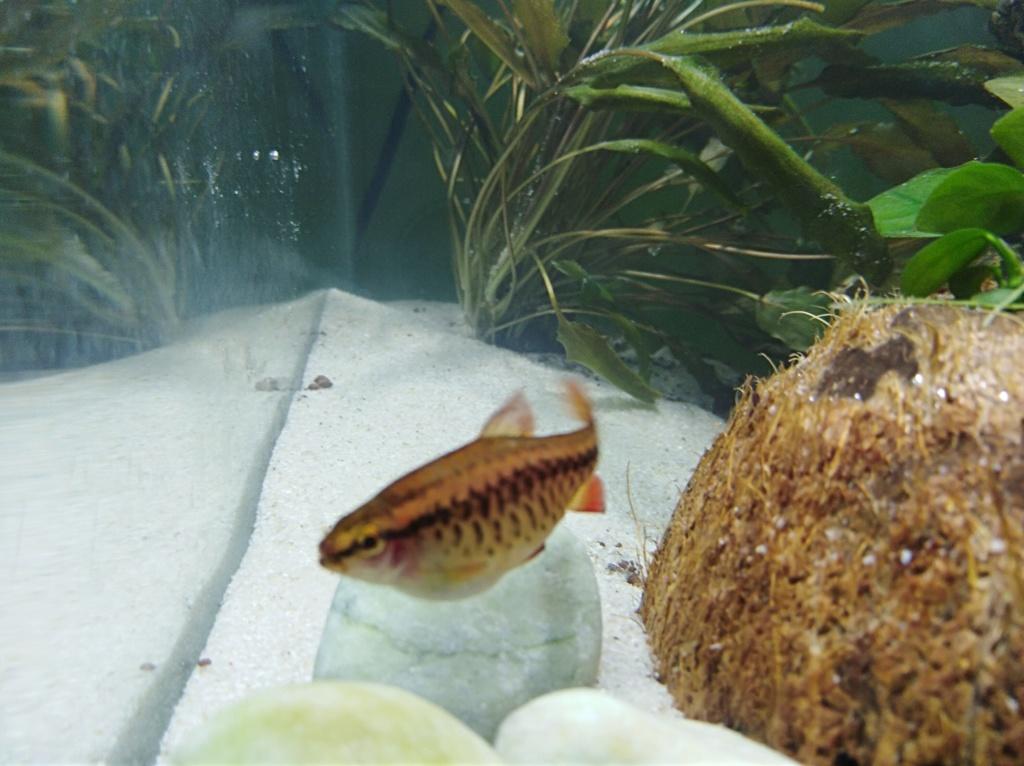 Recherche la race de ce petit poisson  Img_2011