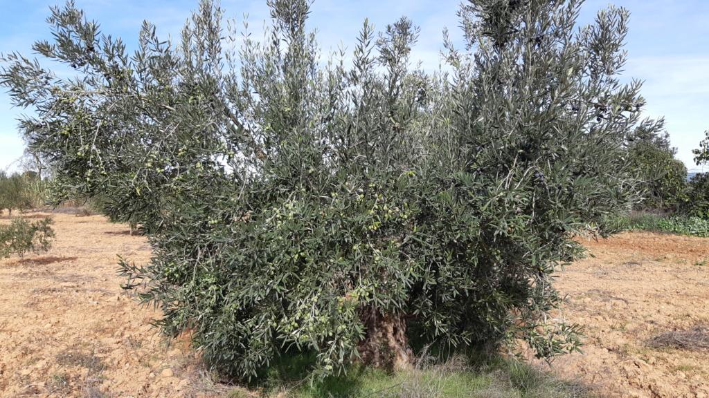 Identificación variedades (Albacete) 20181117