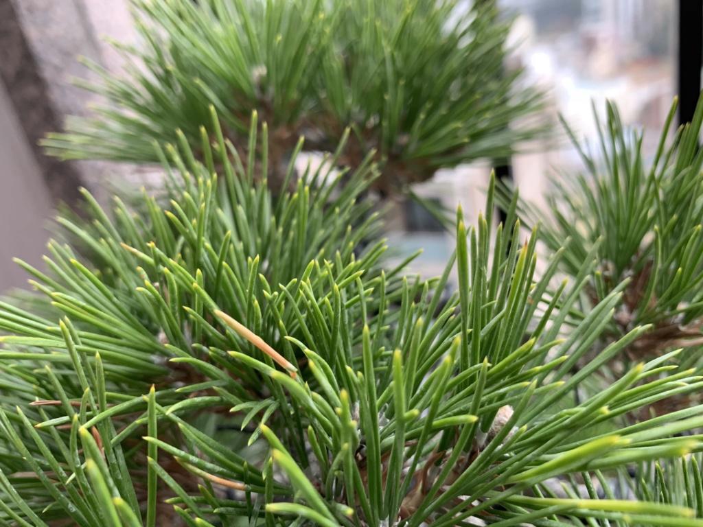 Aiuto con pino nero giapponese 8d861410
