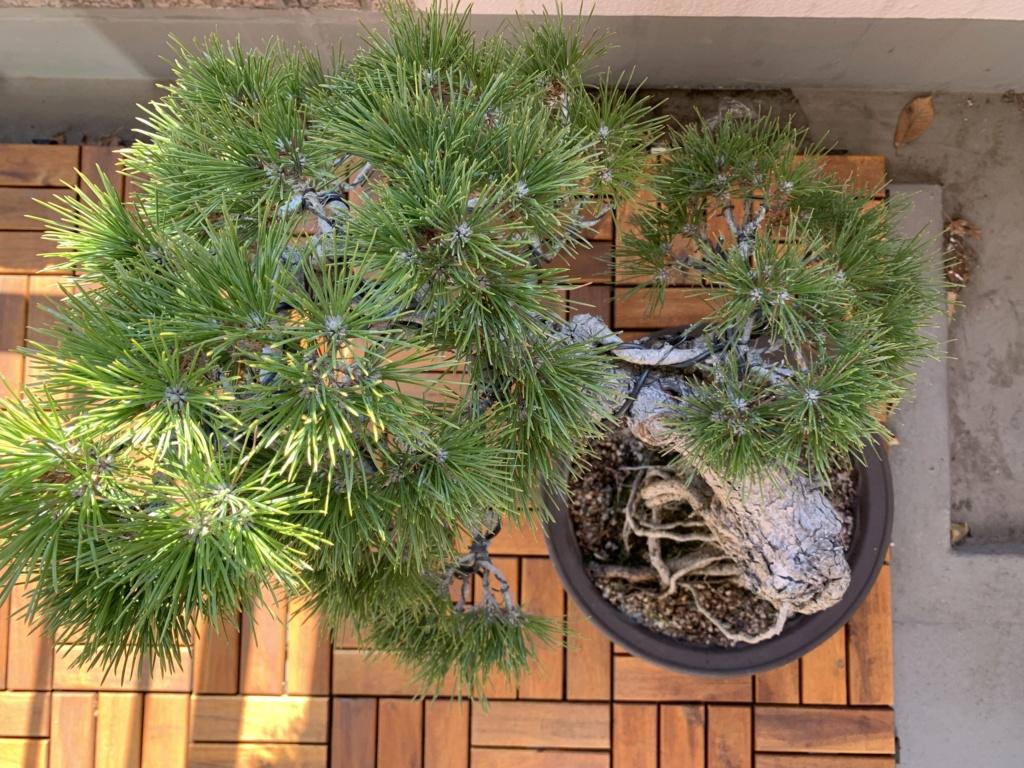 Aiuto con pino nero giapponese Ee9d4c10