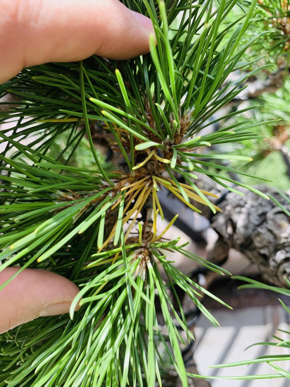 Aiuto pino nero giapponese  Img_7010