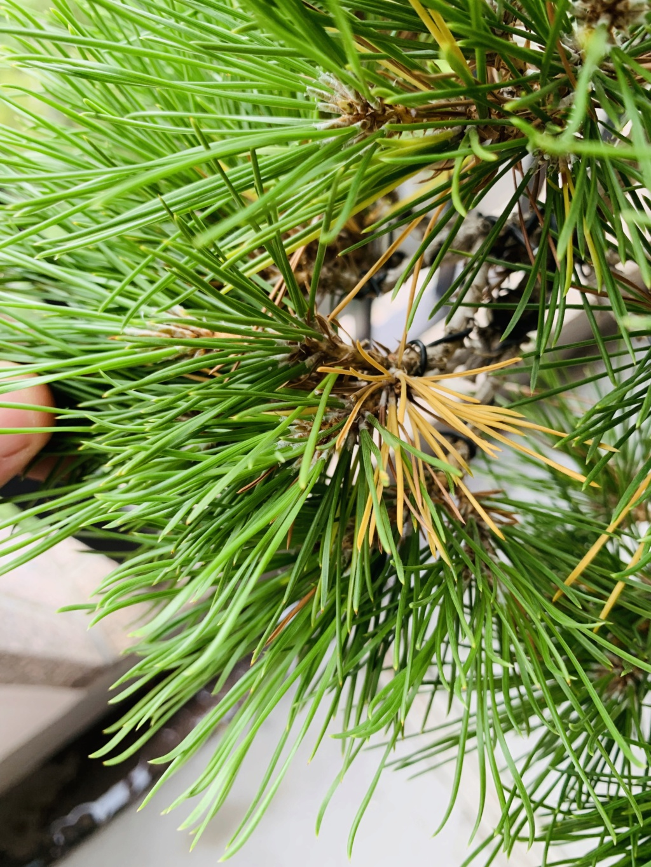Aiuto pino nero giapponese  Img_7011