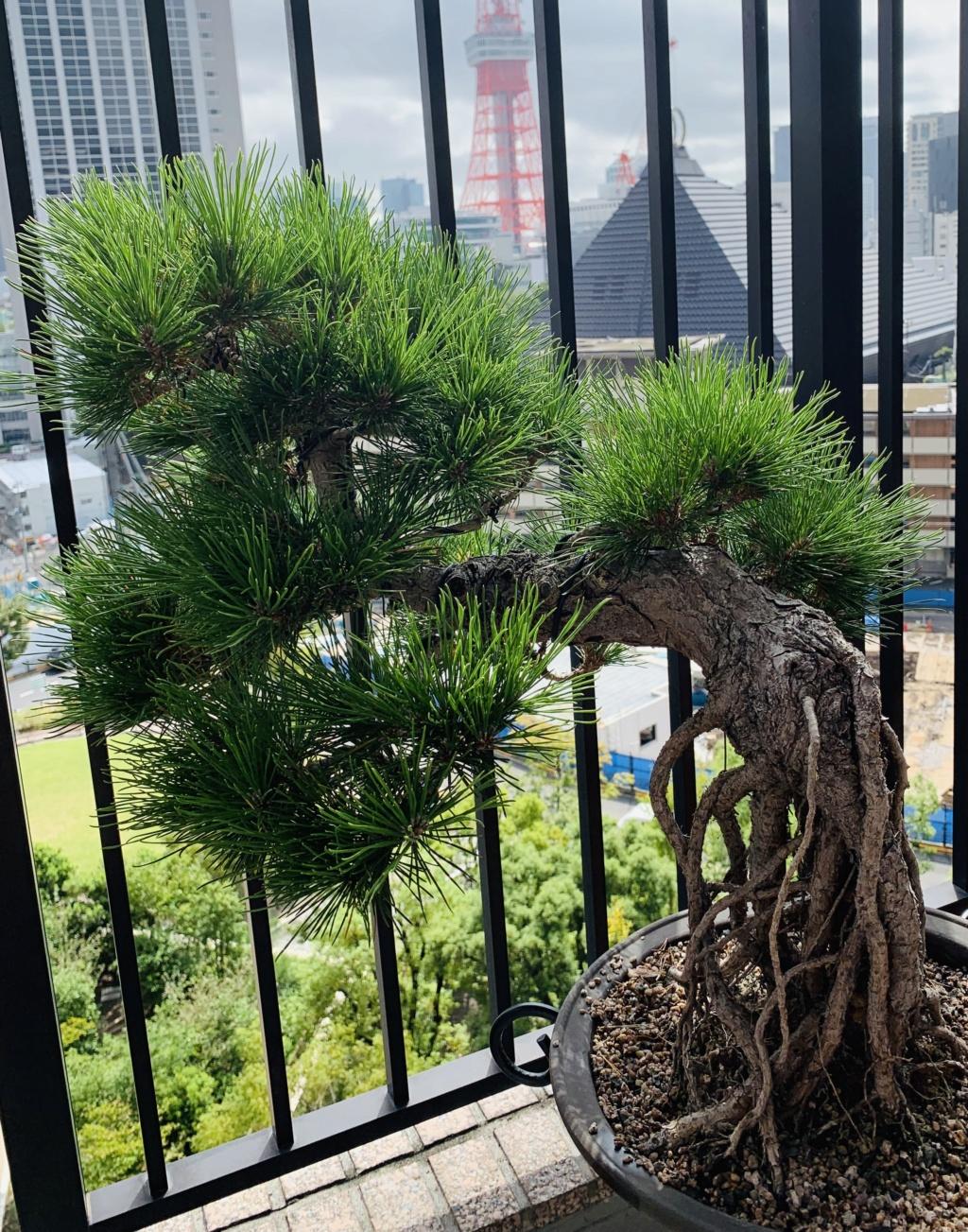 Aiuto pino nero giapponese  Img_7012