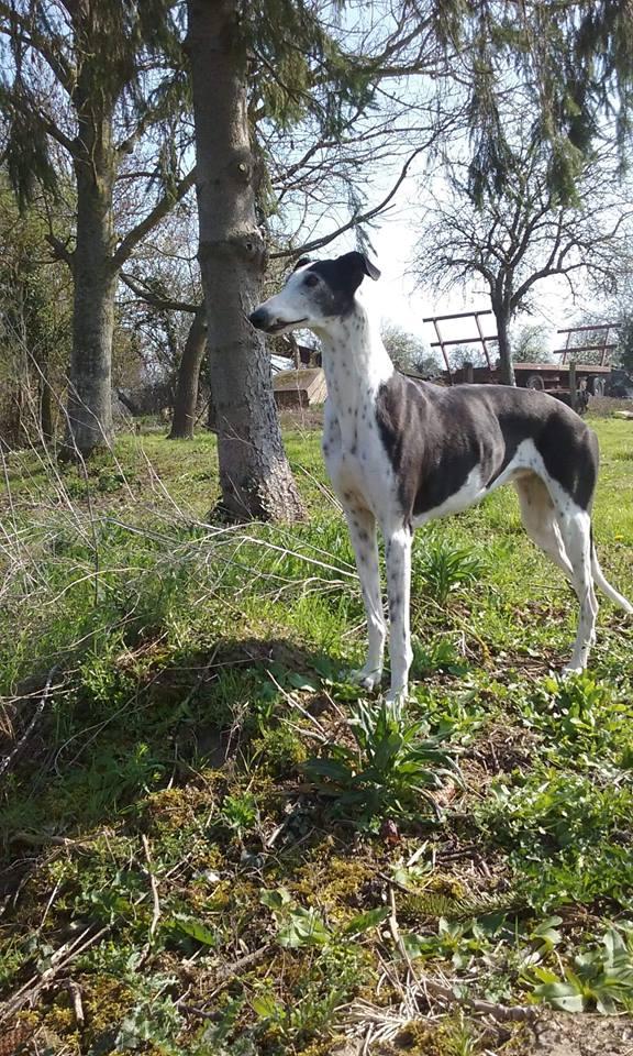 Cuquy galga douce née en 2012  Scooby France Adoptée  Cuquy310