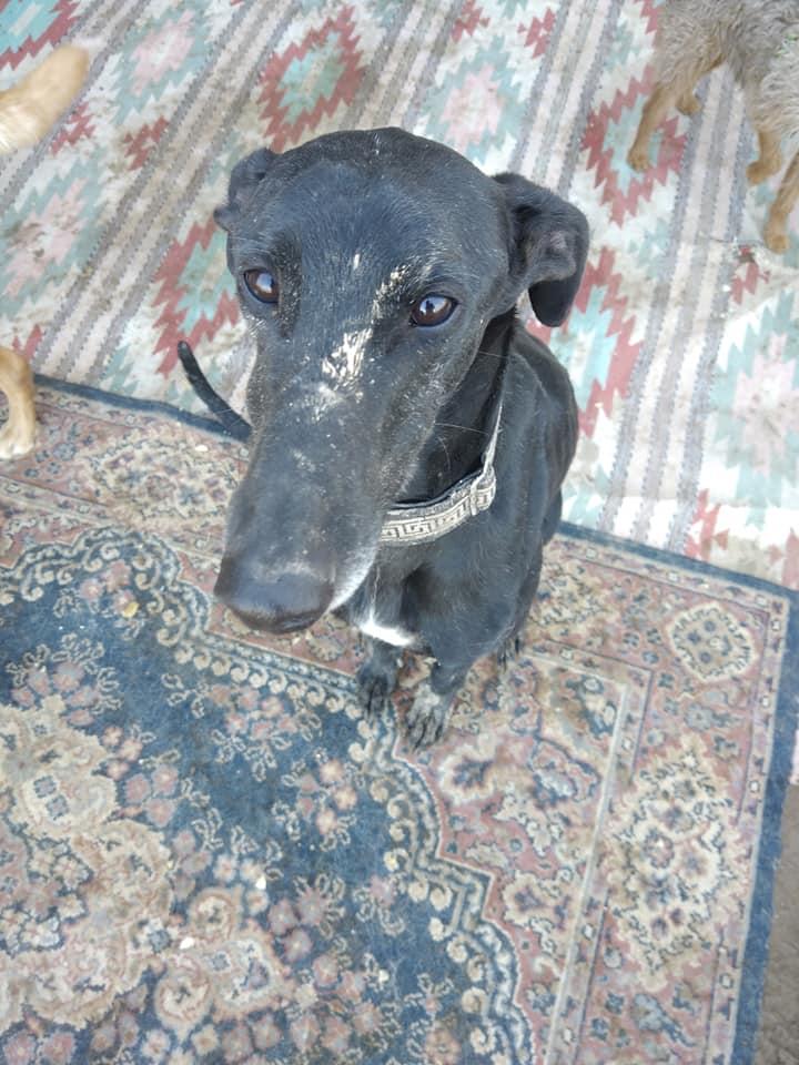 DIEGO galgo noir de 2016 Adopté  Diego810
