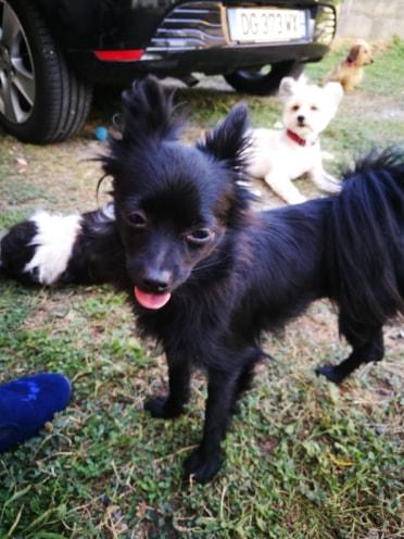Naia , petite spitz noire , 2ans Adoptée  Naia110