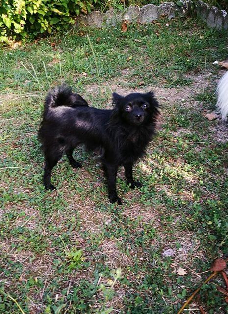Naia , petite spitz noire , 2ans Adoptée  Naia210