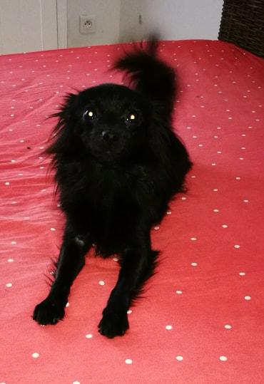 Naia , petite spitz noire , 2ans Adoptée  Naia310