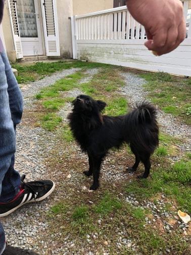 Naia , petite spitz noire , 2ans Adoptée  Naia810
