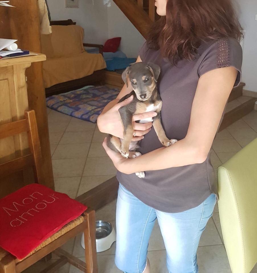 SAMI petit croisé jack et pinscher, 3 mois adopté ! Sami310