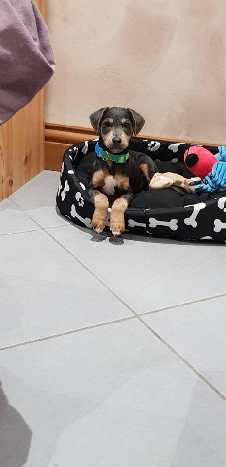 SAMI petit croisé jack et pinscher, 3 mois adopté ! Sami610