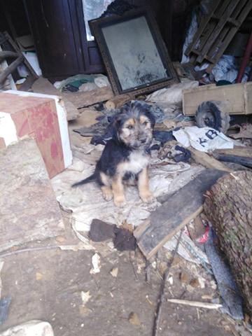 SVEN  male de 4 mois croisé berger allemand griffon reservé  Sven410