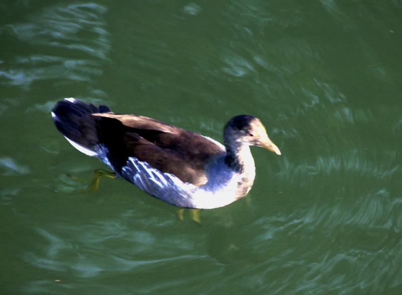 Gallinule poule d'eau (juvénile) (Un zozio à identifier ... Merci à tous !) Pouled10