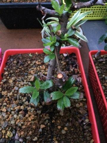 Problema pyracanta y arce palmatum Img_1510