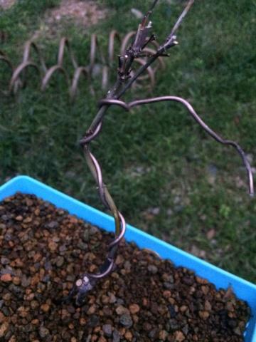 Problema pyracanta y arce palmatum Img_1511