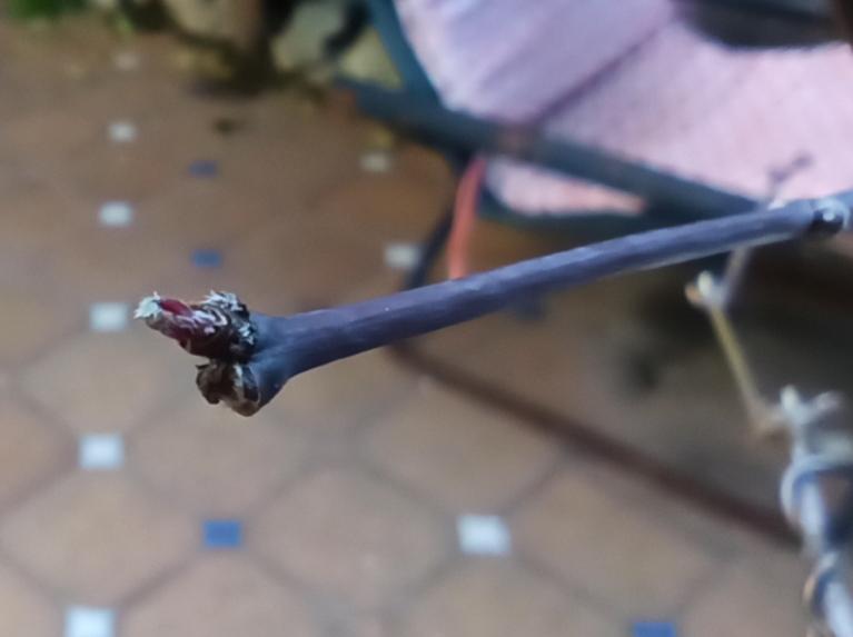 Arce palmatum seca yemas Img_2013
