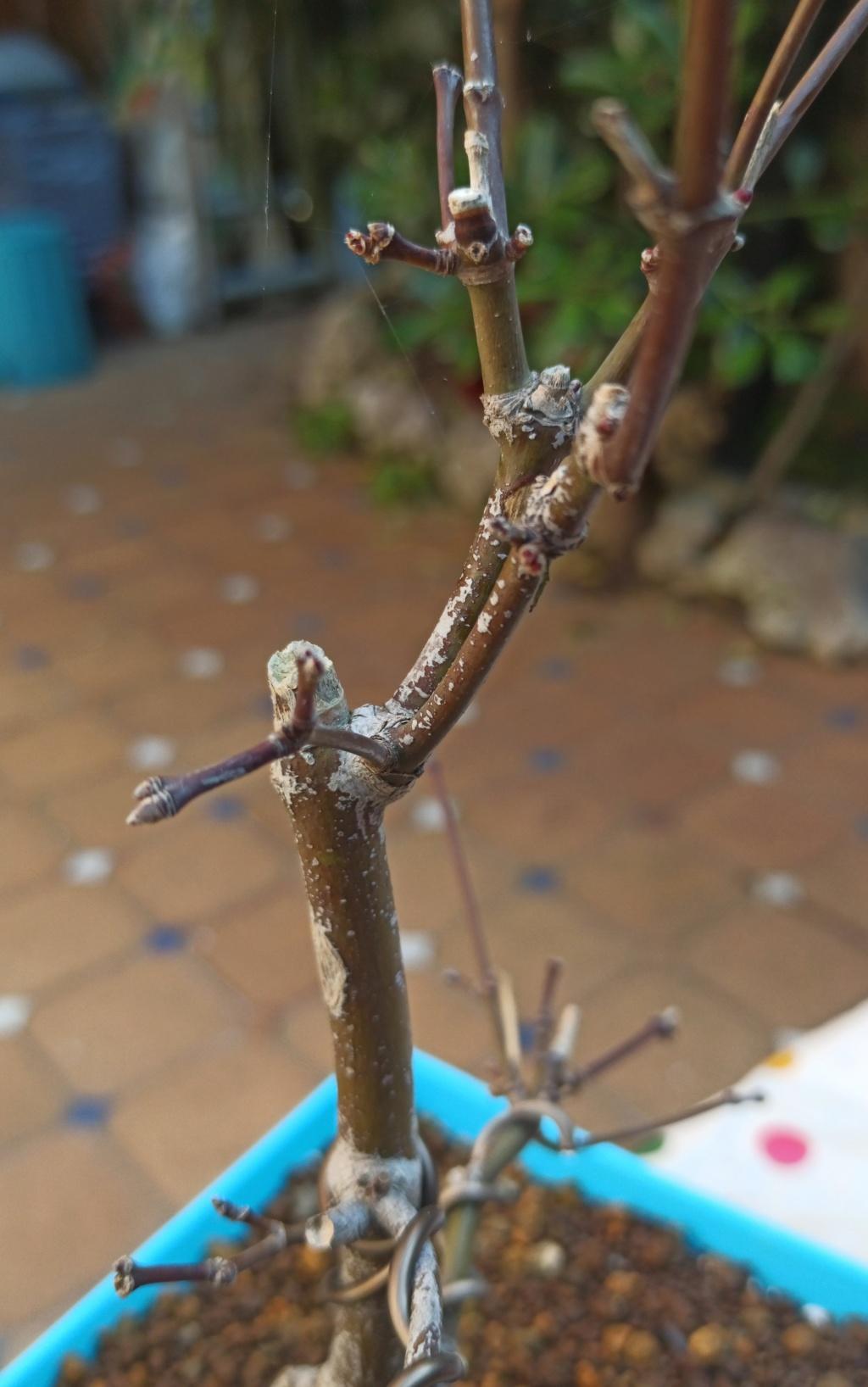 Arce palmatum seca yemas Img_2016
