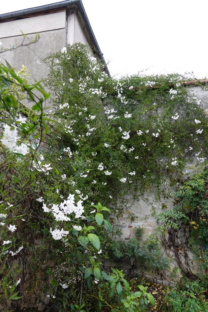 solanum jasminoides Dsc01715