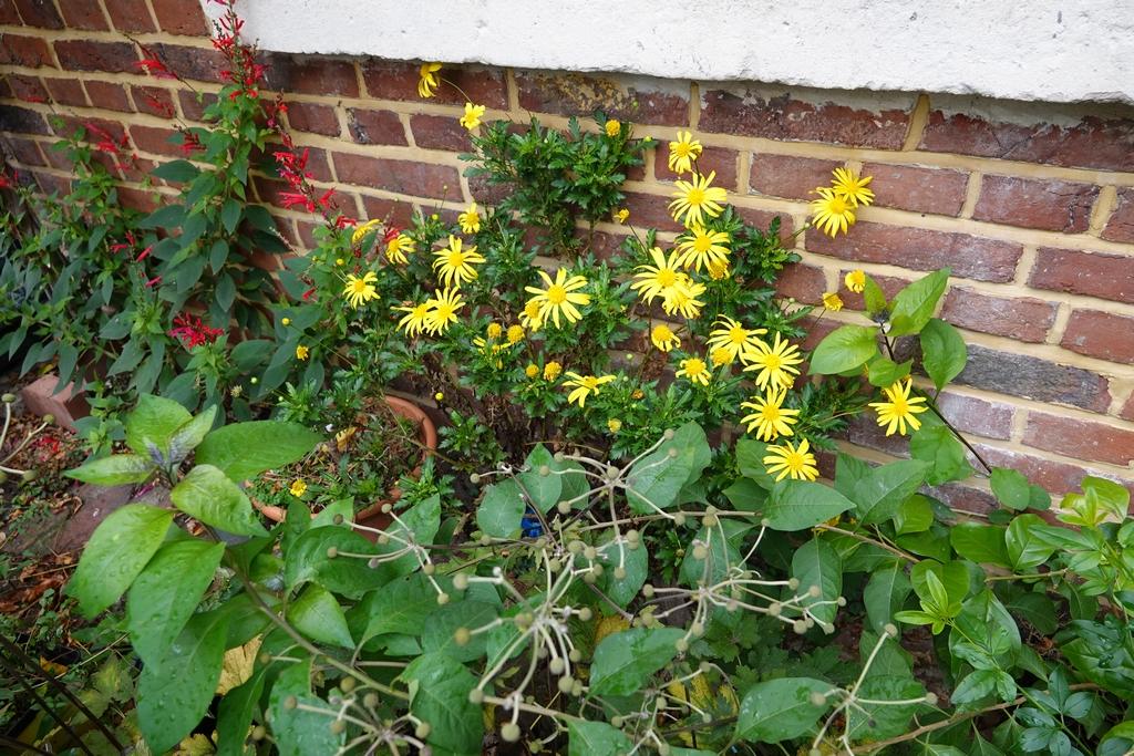 euryops chrysanthemoides  Dsc01717