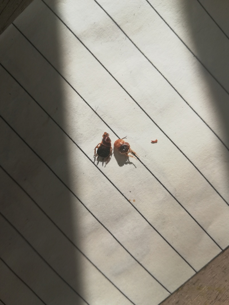 [Ectobius sp.] Aide identification punaise  Img_2011