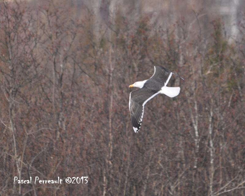 Un petit Marin Oiseau11