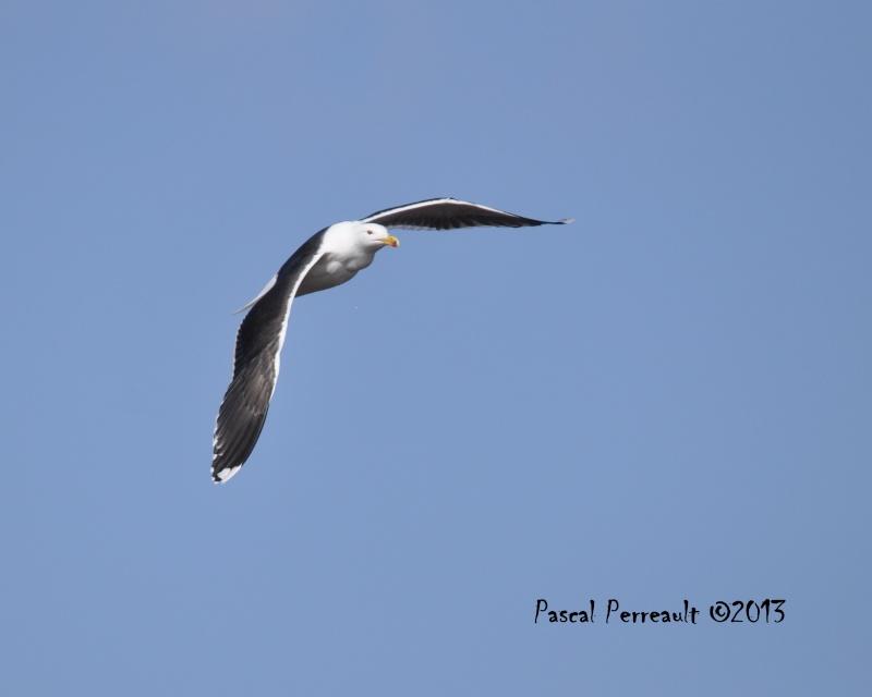 Un petit Marin Oiseau12