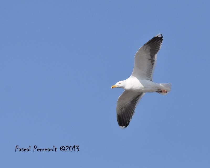 Un petit Marin Oiseau13